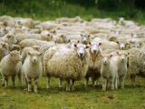 ca. 2004, New Zealand, Pacific --- Flock of sheep, New Zealand, Pacific --- Image by © Mula Eshet/Robert Harding World Imagery/Corbis