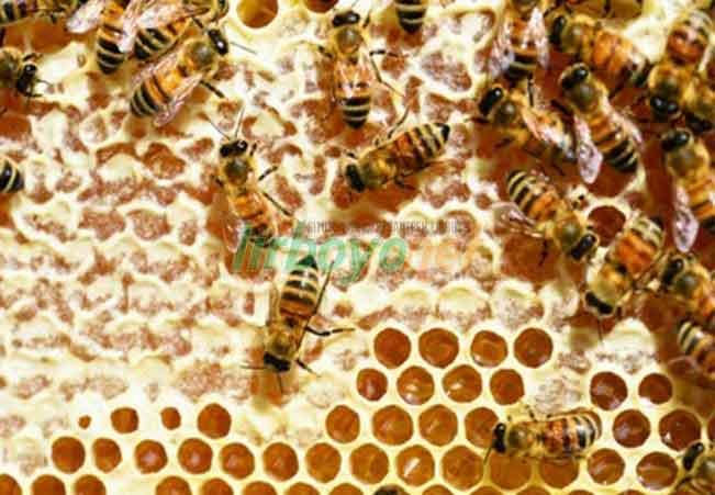 Hukum Mengkonsumsi Sarang Lebah